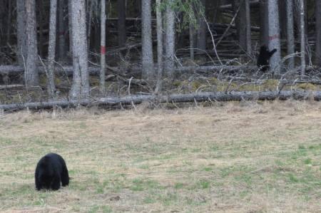 Black Bears!